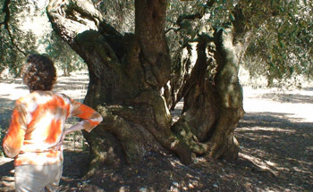 Some olive trees are more than 1000 years old